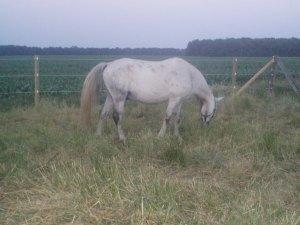 gray gelding