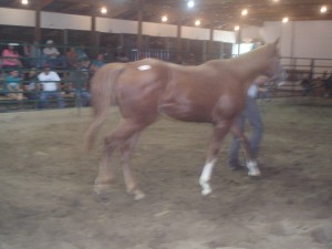 3 year old AQHA mare sold for $225